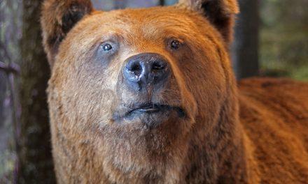 Karhu nähty Puijolla – Kaksi luontonäyttelyä Puijon tornissa