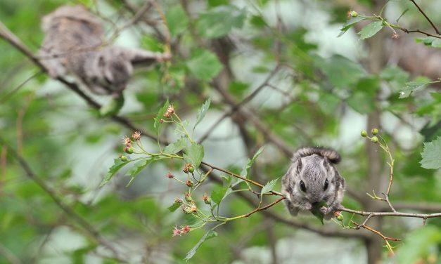 Kuopiossa viihtyy liito-oravakin